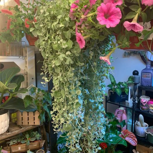 Дихондра серебристая: букеты цветов на заказ Flowwow
