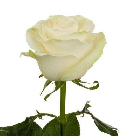 Роза Эквадор Мондиаль