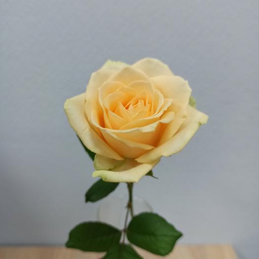 Rose Peach Avalange