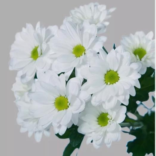 Хризантема кустовая 1ветка