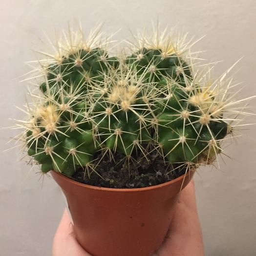 Комнатное растение Эхинокактус грузони