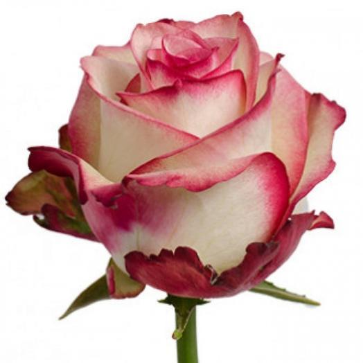 Эквадорская сортовая роза