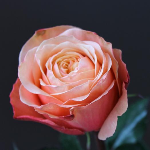 Пионовидная роза Kahala