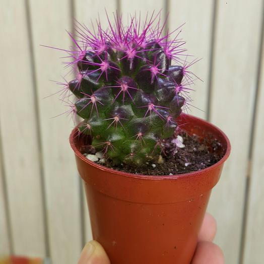 Эхинокактус фиолетовый