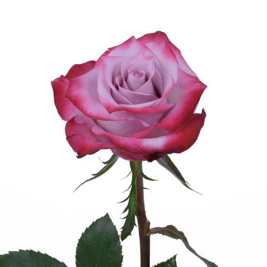 Розы сорта Ди Пёрпл