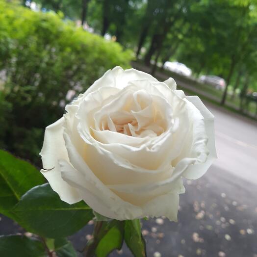 Роза Playa Blanca Эквадор