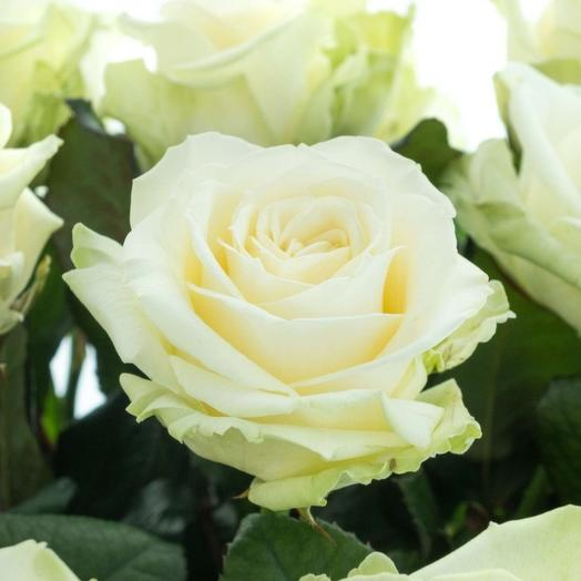 White rose Avalange 60 cm