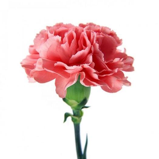 Гвоздика розовая 9 мая День Победы