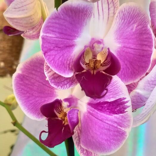 Чудесная орхидея в кашпо