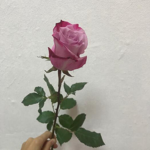 Одноголовая Роза  Эквадор
