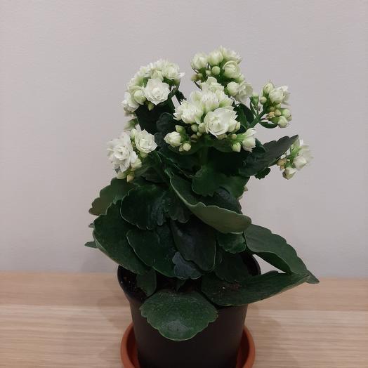 Каланхое: букеты цветов на заказ Flowwow