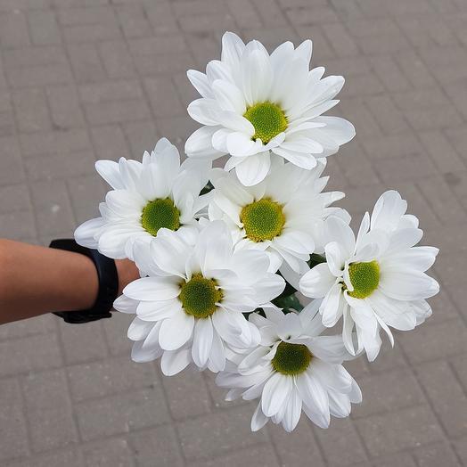 Хризантема кустовая ромашкой белая