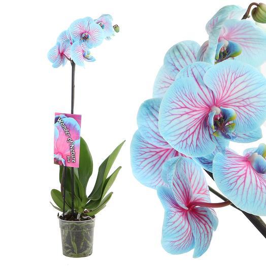 Орхидея «Чудо природы»