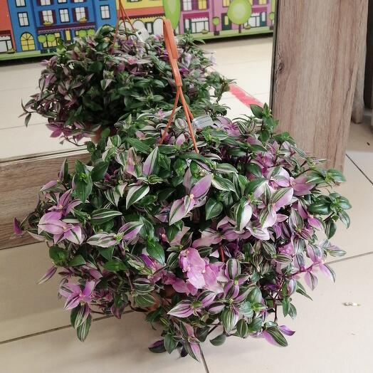 Комнатное растение Традесканция ампельная