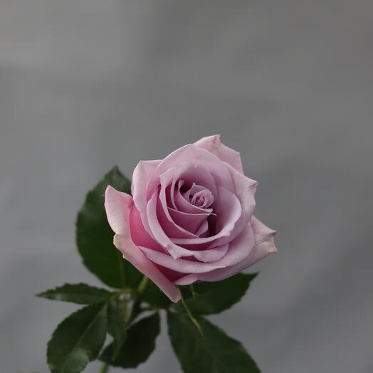 Роза Эквадор сиреневая