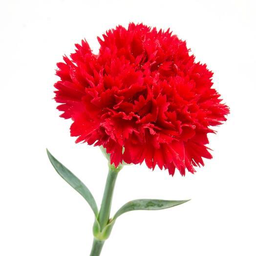 Гвоздика красная 9 мая День Победы