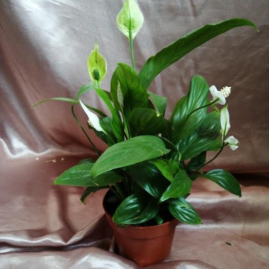 Спатифиллум: букеты цветов на заказ Flowwow