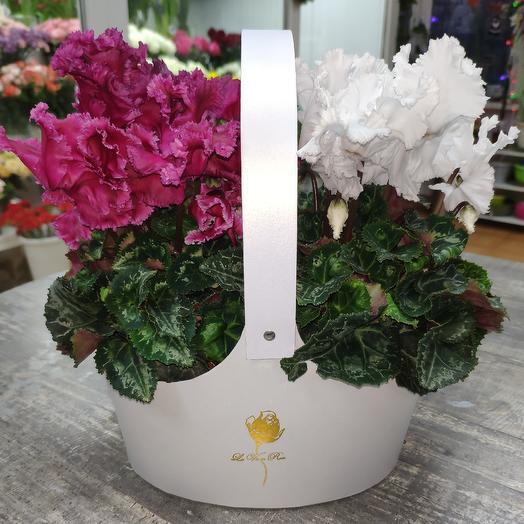 Микс цикламенов: букеты цветов на заказ Flowwow