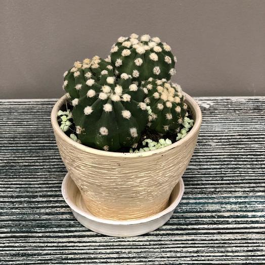 Семейка кактусов в керамическом кашпо