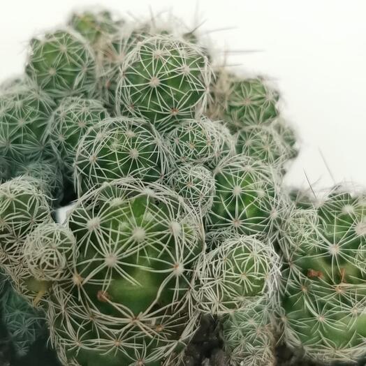 Кактус Mammillaria Vetula