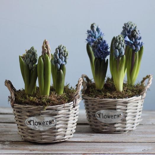 Гиацинты (луковичные) в корзине: букеты цветов на заказ Flowwow