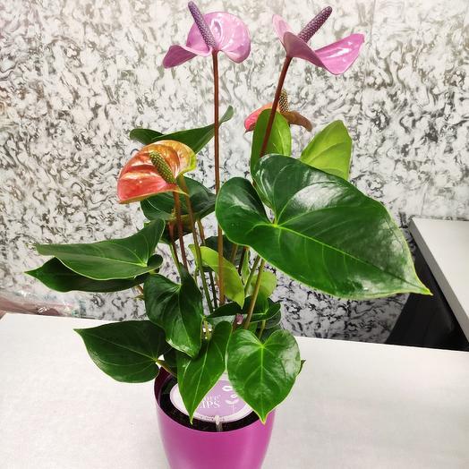 Антуриум фиолетовый (лиловый)