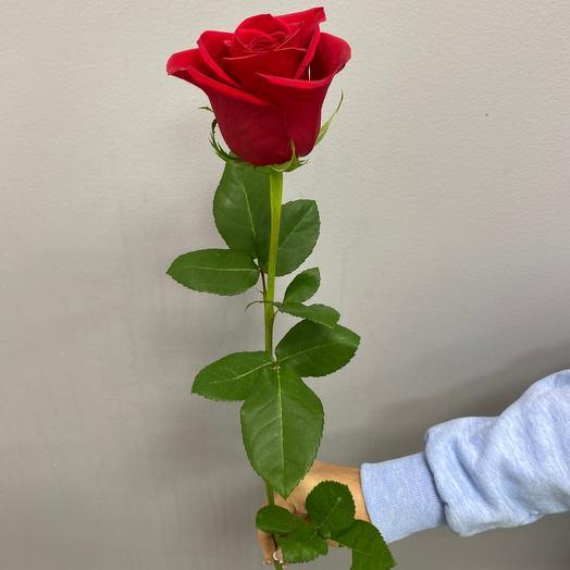 Роза Фридум