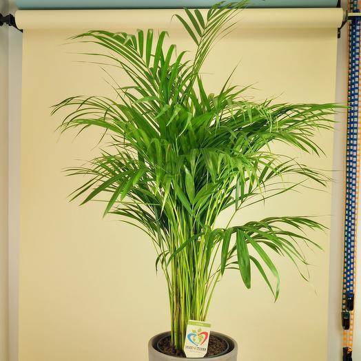 Хризалидокарпус пальма