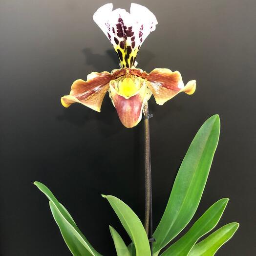 Орхидея пафиопедилум Венерин башмачок