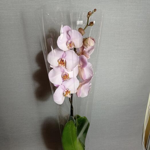 Комнатное растение Фаленопсис орхидея