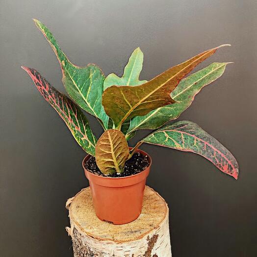 Комнатное растение. Кодиеум