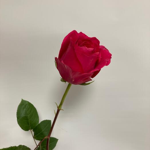 Роза сорта-пинк флойд(50см)