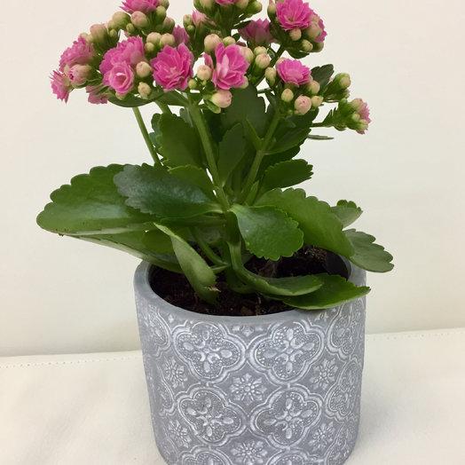Каланхоэ : букеты цветов на заказ Flowwow