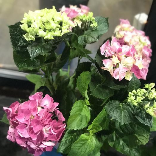 Розовая крупнолистная гортензия Премиум в горшке: букеты цветов на заказ Flowwow