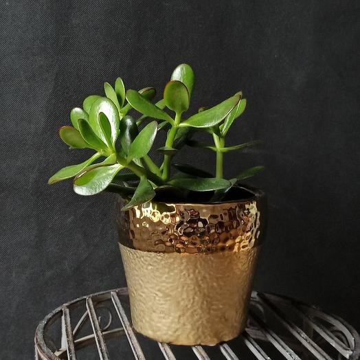 """Горшечное растение """"Крассула""""(без кашпо): букеты цветов на заказ Flowwow"""