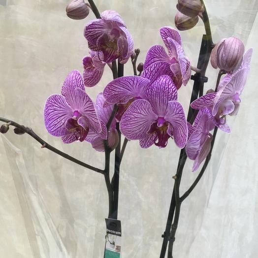 Орхидея полосочки