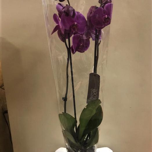 Фаленопсис, 2 стебля-цветоноса