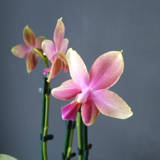 Орхидея Лиодоро