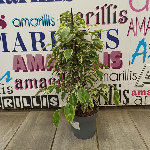 Комнатное растение фикус бенжамтн