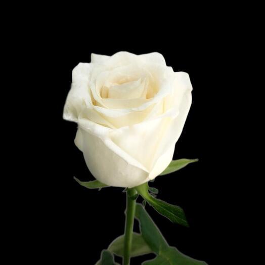 Роза Dolomiti 70 см