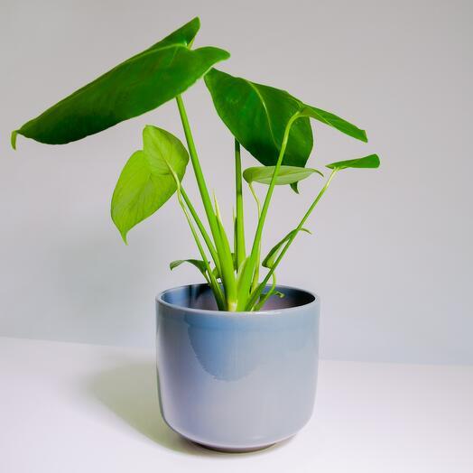 """Растение """"Монстера Деликатесная"""" пересаженное в Сине-бежевый горшок"""