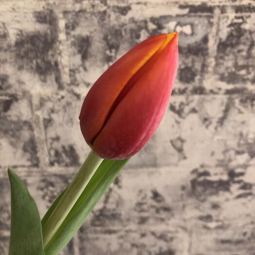 Тюльпан классический