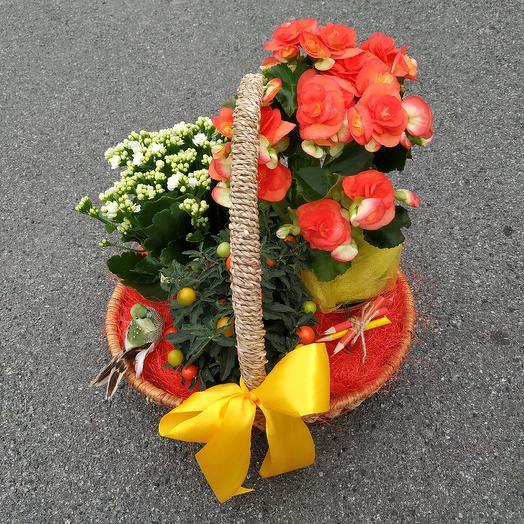 Корзина комнатных растений «Симфония»: букеты цветов на заказ Flowwow