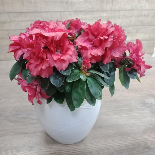 Азалия в керамическом горшке: букеты цветов на заказ Flowwow