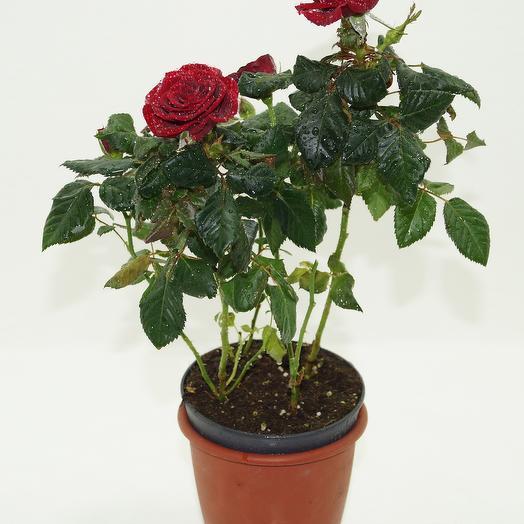 Роза ред наоми комнатное: букеты цветов на заказ Flowwow