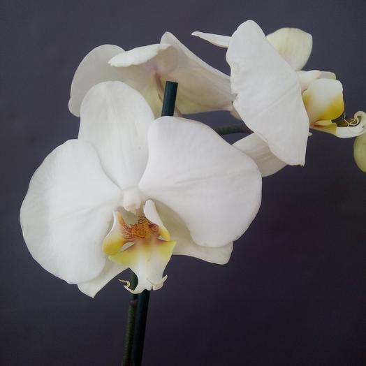Орхидея Фаленопсис 60 см