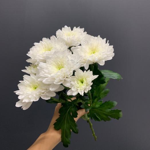 Хризантема кустовая сорт Балтика Белая