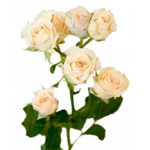 Роза кустовая Таня 50 см
