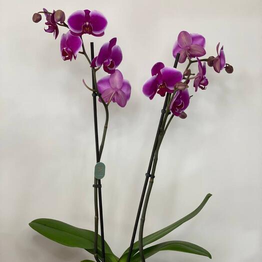 Орхидея фиолетовая двухствольная