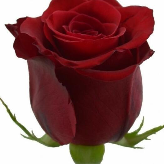 Роза красная (эксплорер) 60 см